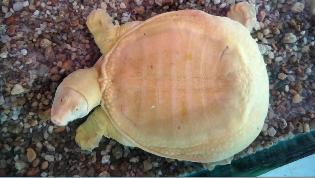 Golden snapping turtle1